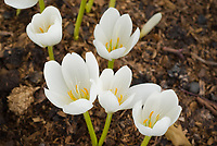 Colchicum speciosum Album (AGM) species autumn flowering bulb in fall bloom, white flowers