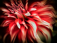 Close up of Santa Cluse Dahlia. Oregon