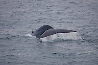 Blue whale Balaenoptera musculus water streaming off tail fluke during dive Spitzbergen Barents sea North east Atlantic