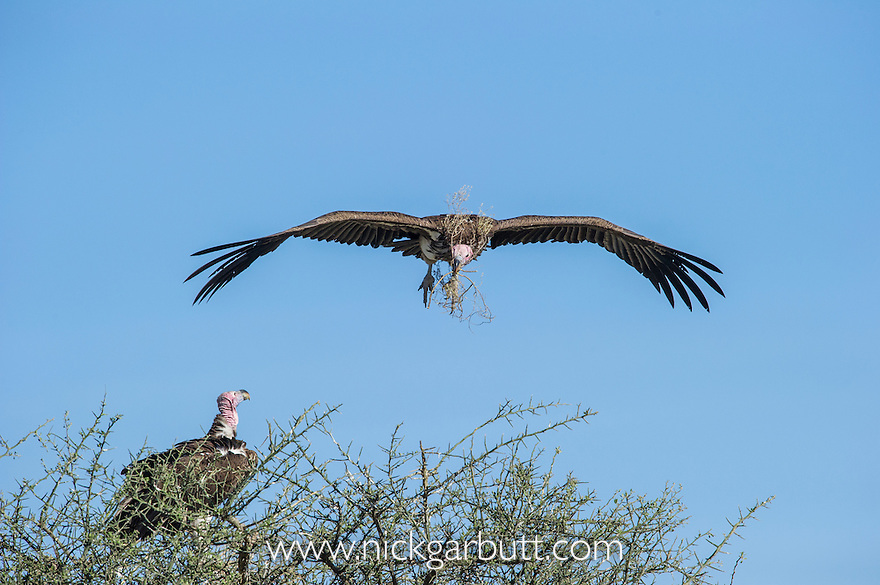 Adult Lappet-faced or Nubian Vulture (Torgos tracheliotos) carrying nesting material. Returning to its mate at the nest. Serengeti National Park, Tanzania.