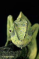CH29-016z  African Chameleon - eyes rotate completely and independently of each other - Chameleo senegalensis