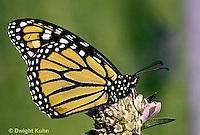 MO01-044z  Monarch Butterfly - adult on milkweed - Danaus plexippus