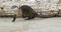 River Otter walking across a frozen pond - CA