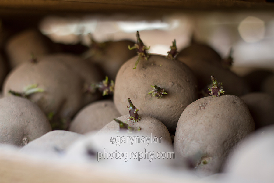Chitted Marfona potato seed in chitting trays - March