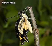 1020-0814  Giant Swallowtail Butterfly Recently Emerged from Chrysalis Drying Wings (Life Cycle Series), Papilio cresphontes © David Kuhn/Dwight Kuhn Photography.