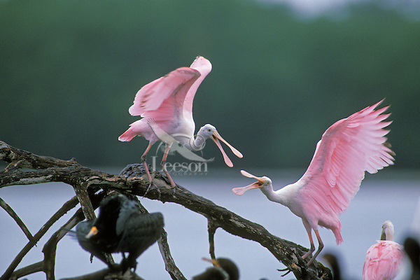 Roseate Spoonbills.  Mating behavior. Ding Darling National Wildlife Refuge, Florida.  March.