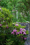 Waterfall with pink rhododendron