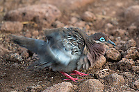 Galapagos Dove<br />