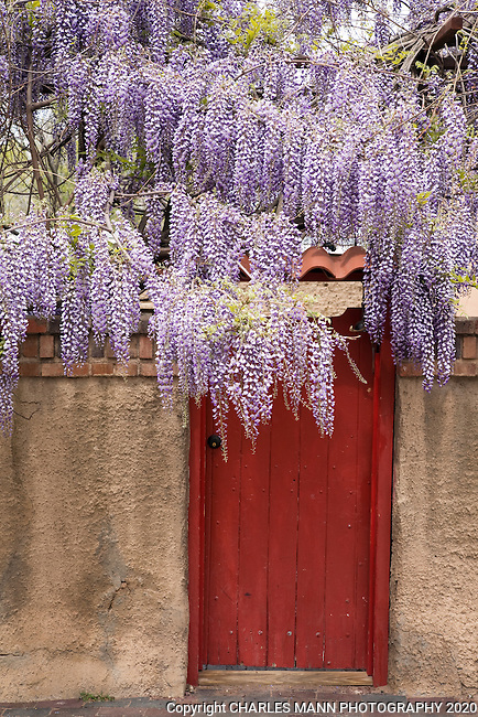 A beautiful wisteria blooms over an adobe wall accented by a red gate on East DeVargas Avenue in Santa Fe, NM