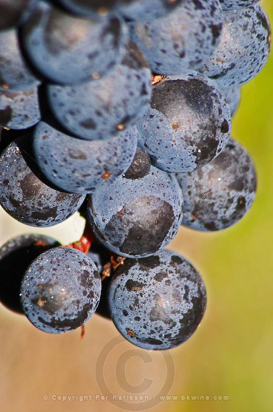 Bunches of ripe grapes. Merlot. Chateau Paloumey, Haut Medoc, Bordeaux, France.