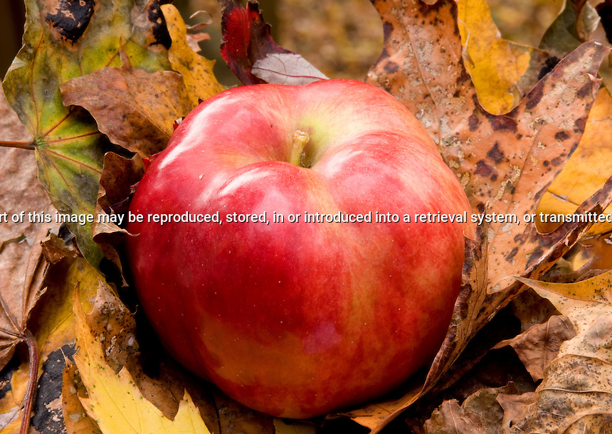 IDA Red apple sitting on fallen leaves