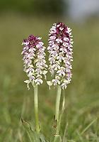 Burnt Orchid - Neotinea ustulata