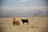 Cattle and abandoned farm near Square Butte, Montana