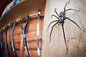 House Spider female {Tegenaria sp.} in garden shed. Derbyshire, UK, March.