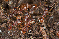 Wald-Knotenameise, Waldknotenameise, Knotenameise, Knoten-Ameise, Langdornige Rote Knotenameise, Langdornige Rote Gartenameise, transportieren Eier, Myrmica ruginodis, Knotenameisen, Myrmicinae, red myrmicine ants