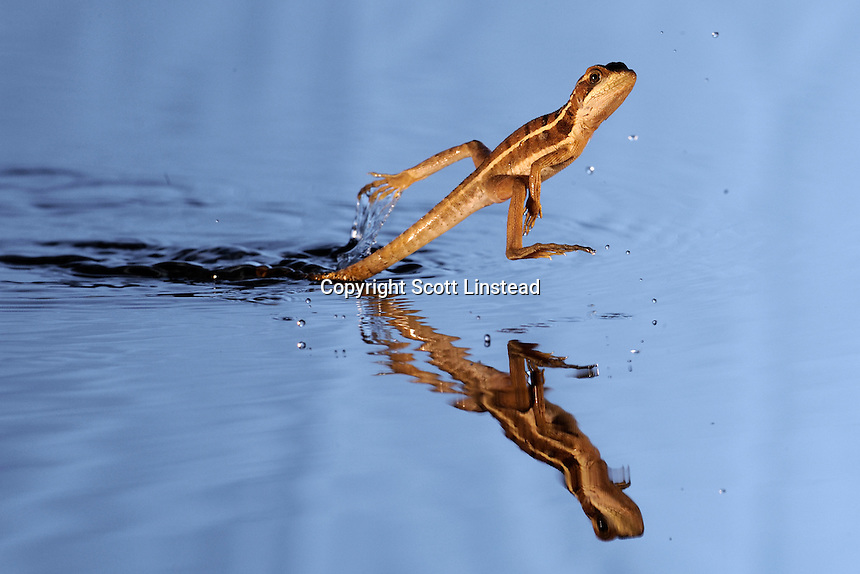 "a brown basilisk, also known as ""Jesus Christ lizard"", running on water"