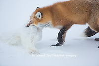 01871-02912 Red Fox (Vulpes vulpes) eating Arctic Fox (Alopex lagopus) at Cape Churchill, Wapusk National Park, Churchill, MB