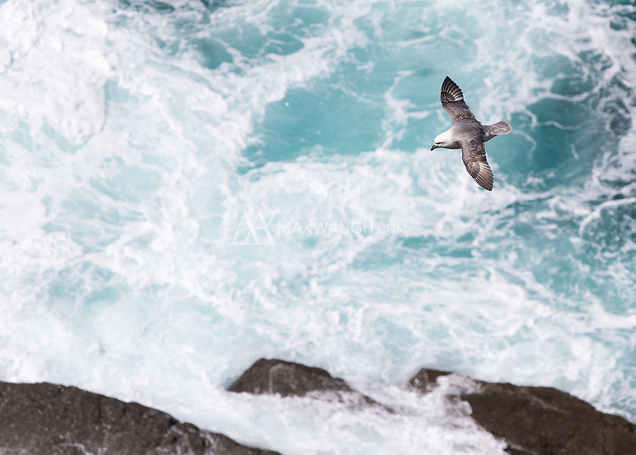 A fulmar soars above crashing waves on Ireland's Atlantic coast.