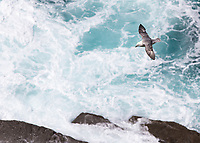 A fulmar soars above crashing waves on Ireland's Atlantic coast.