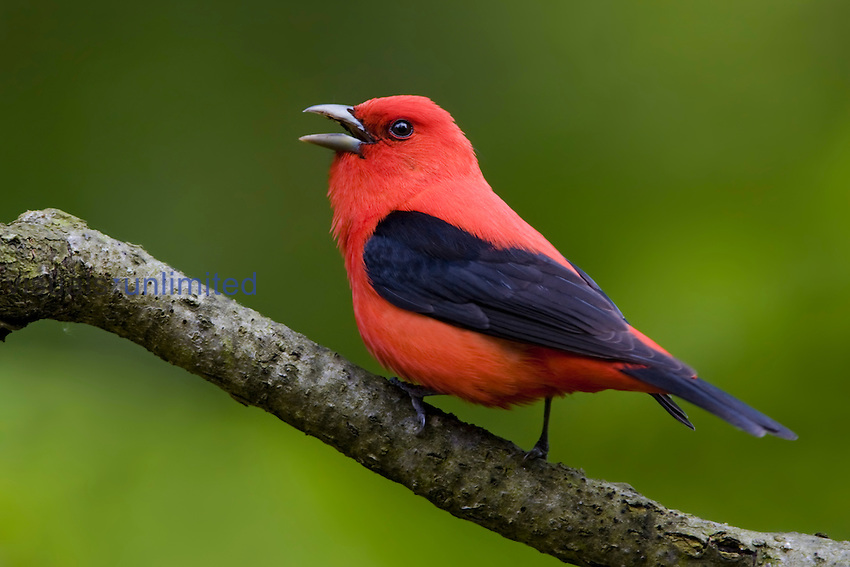 Scarlet Tanager (Piranga olivacea) perched on a branch, Ontario, Canada.