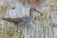 Greater yellowlegs foraging for food in a northern Wisconsin wetland