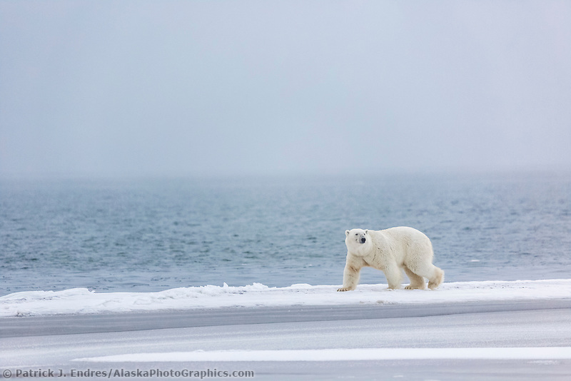 Female bear walks along the edge of the Beaufort Sea, Arctic, Alaska.