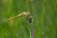 362740012 a wild female saffron-winged meadowhawk sympetrum costiferum perches on a small wildflower in mono county california
