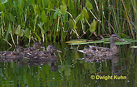 DG08-504z  Mallard Duck Mother and Young Ducklings, Anas platyrhynchos
