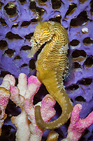Lined seahorse ( Hippocampus erectus ) ( c ) (do)