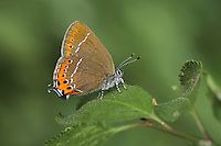 Black Hairstreak Satyriuim pruni Wingspan 35mm. A rather sluggish butterfly with lethargic flight. Easiest to see when feeding on Privet flowers or honeydew on leaves. Adult seldom reveals upperwings. Underwings are rich brown with orange band white line on both wings. Upperwings are dark grey-brown. Flies July. Larva is rather slug-like and feeds on Blackthorn. Pupa has markings that make it look like a bird dropping. A rare butterfly, found in open woods with Blackthorn thickets; mainly in the East Midlands.