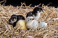 Chicks in studio