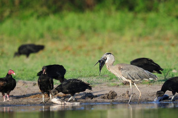Great Blue Heron (Ardea herodias), adult with fish prey among vultures, Dinero, Lake Corpus Christi, South Texas, USA