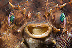 Black-blotched Porcupinefish face (Diodon liturosus), Indonesia.