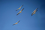 American White Pelican  pelicanus erythrorhynchos;