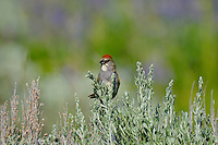 Green-tailed Towhee (Pipilo chlorurus) perched in top of sagebush.  Western U.S., summer.