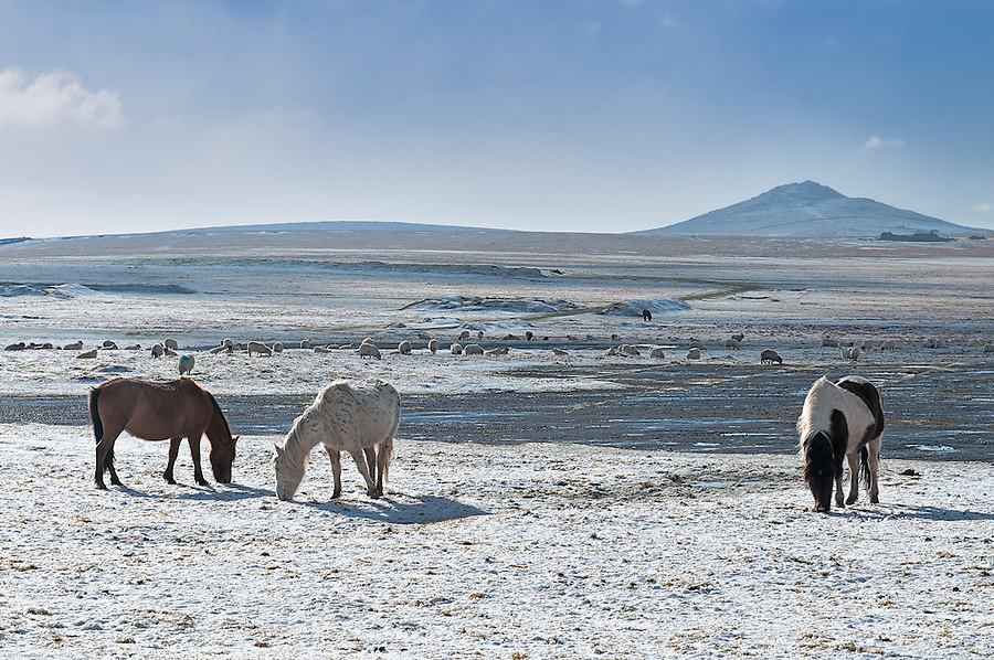 Rough Tor rises behind horses and sheep searching for grass on  Bodmin Moor's snow covered old WWII airfield. This beautiful but strange landscape lies just a couple of minutes drive off the A39.