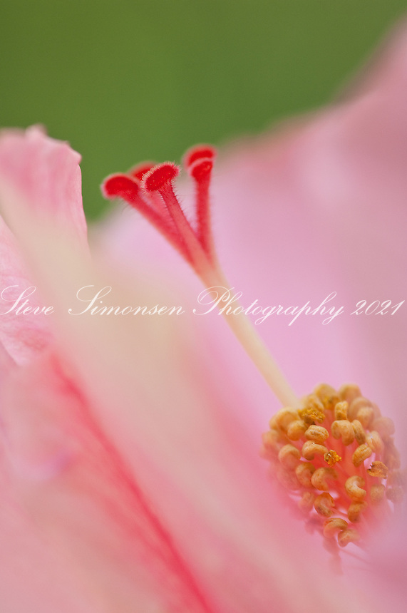 Close up Pink Hibiscus flowers