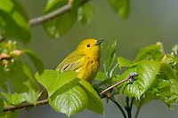 Male YELLOW WARBLER (Dendroica petechia).  A common warbler found throughout North America.