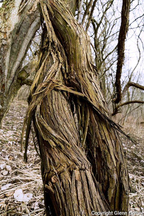 HDR Winter ice, vines, mud, flora and fauna at Perch Creek Nature Habitat