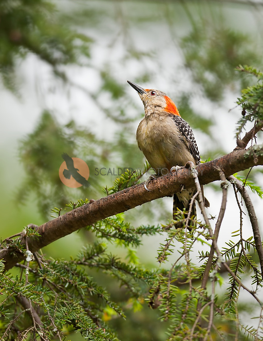 Red-Bellied Woodpecker perched in Hemlock tree