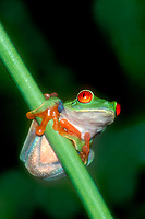 481630002v a captive red-eyed tree frog agalychnis calladryas perches on a plant stem - species is native to central and south american rainforests
