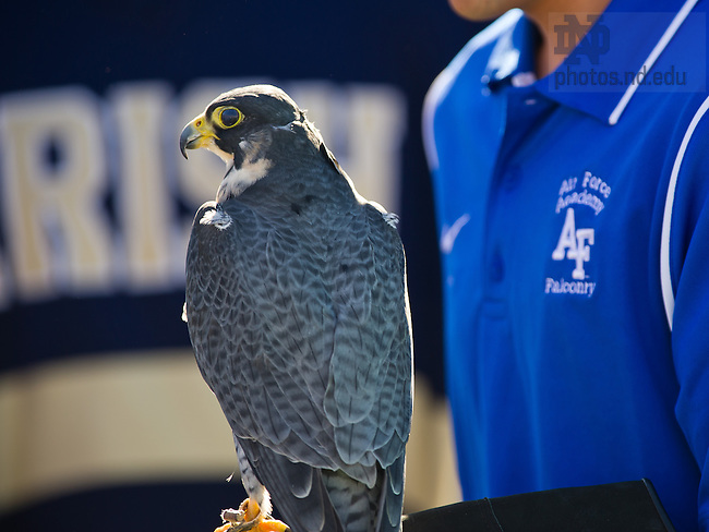 Oct. 26, 2013; Oblio, a peregrine falcon, sits on the glove of his handler.