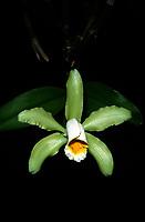 Orchid species: Cattleya forbesii 'Ilgenfritz'