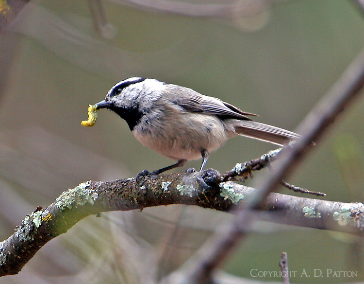 The mountain chickadee is a bird of the west. This spring adult found a juicy worm in the mountains near Silver City, New Mexico.