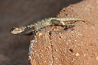 425900003 a wild male great basin fence lizard sceloporus occidentalis longipes perches on a rock along chalk cliffs road bishop california united states