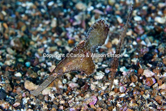 Solenostomus cyanopterus, Robust ghost pipefish, Lembeh, Indonesia