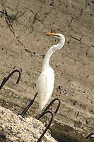 Stock photo: Common great egret looking at a wall at Lakhota Lake Jamnagar Gujarat India.