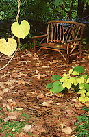 Willow bench in clearing in garden, fall leaves and needles on ground, heart shape leaves of Dutchman's Pipe (Aristolachia macrophylla) on vine at Van Dusen Botanical Garden, Vancouver, BC.