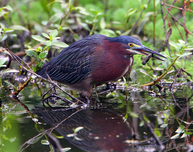 Adult green heron with dragonfly nymph