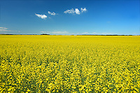 Canola crop along the Saskatoon Trail<br /> near North Battleford<br /> Saskatchewan<br /> Canada